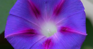 Japanese morning glory Ipomoea